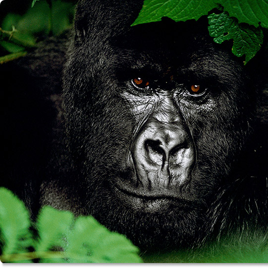 Mangelsen's limited edition photograph titled Gentle Giant - The Silverback