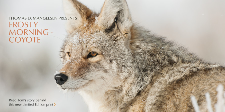 Read Tom's Story behind Frosty Morning - Coyote