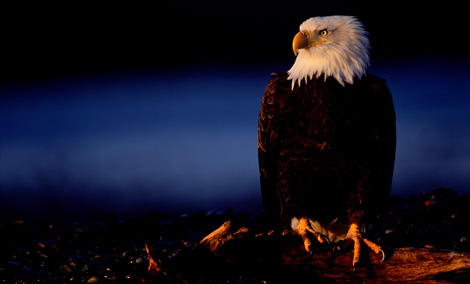 His Majesty - Bald Eagle