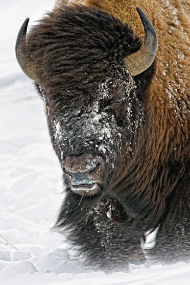 Mangelsen's Windswept - Bison