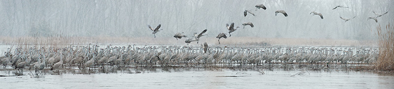 Mangelsen photo titled Cranes of the Grey Wind
