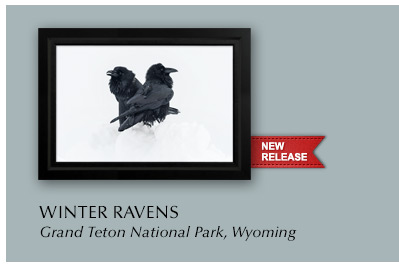 New release titled Winter Ravens