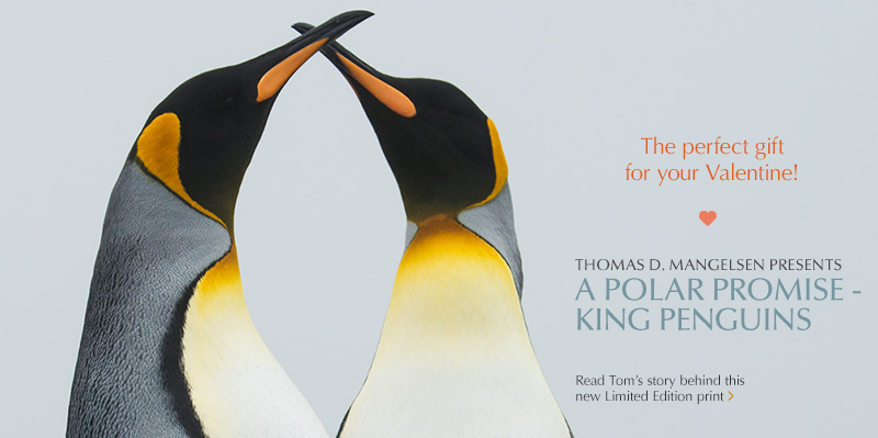 Mangelsen's Feature Image titled A Polar Promise - King Penguin is a perfect gift for your Valentine!