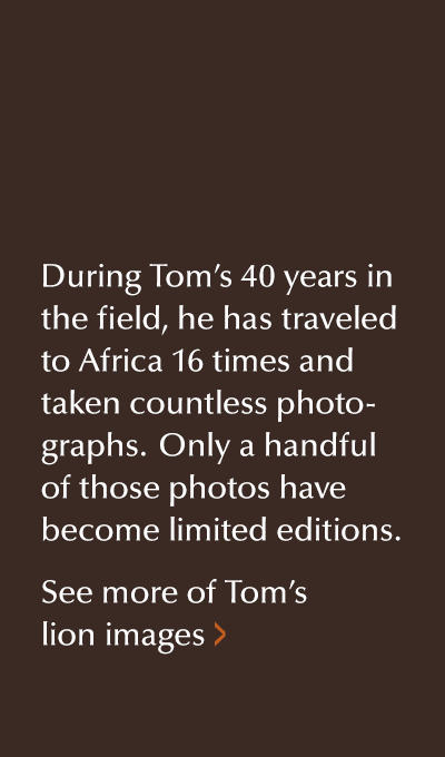 View more of Mangelsen's lion images