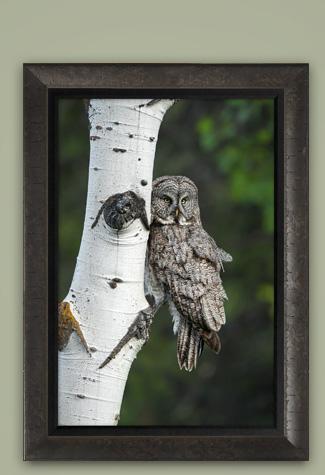Mangelsen's image titled Eyes of the Aspens - Great Gray Owl