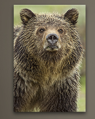 Mangelsen's image titled Eyes of the Grizzly