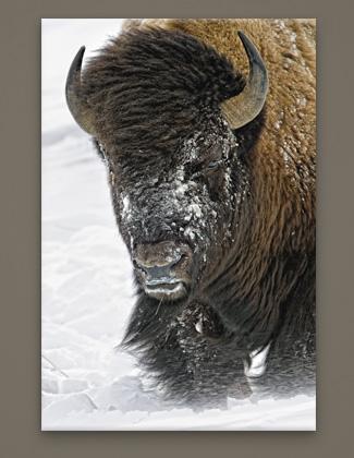 Mangelsen's image titled Windswept - Bison
