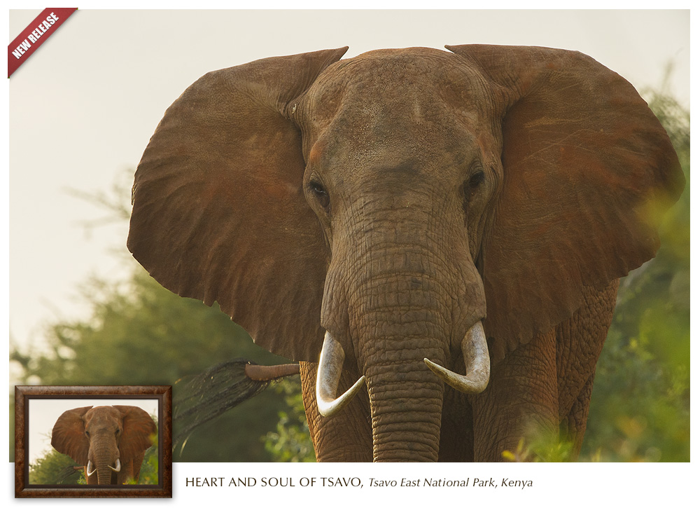 Mangelsen's new release photograph titled Heart and Soul of Tsavo