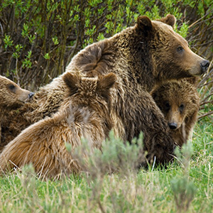 Grizzly Comfort