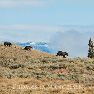 Mangelsen's photo from Grizzlies of Pilgrim Creek