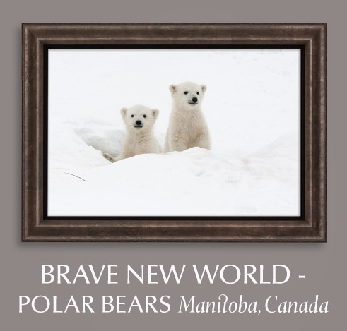Give your Valentine a fine art photograph titled Brave New World - Polar Bears