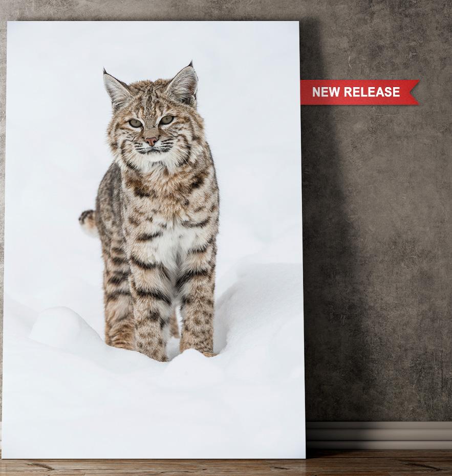 New Mangelsen image titled Winter Beauty - Bobcat