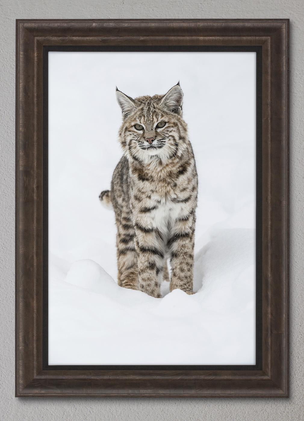 Showing a Framed Print of Winter Beauty - Bobcat