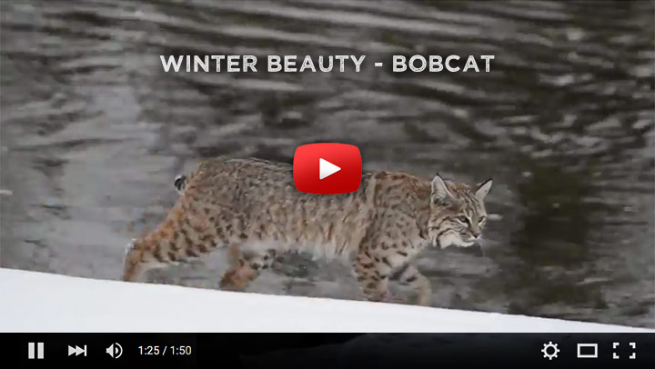 Watch as Mangelsen photographs his first ever bobcat in the wild.