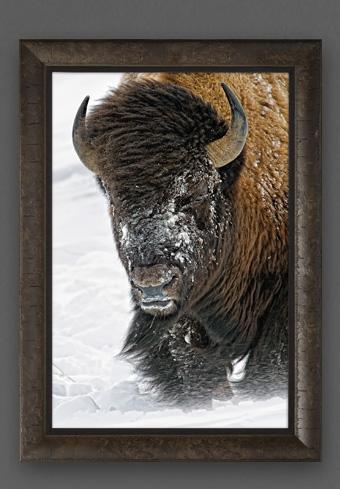 Limited edition print titled Windswept - Bison