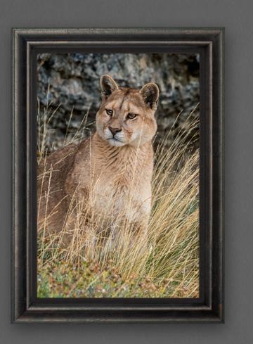 Limited edition print titled Wild Encounter - Puma