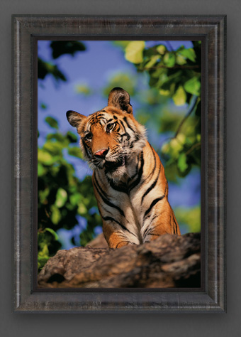 Limited edition print titled Expectations - Bengal Tiger