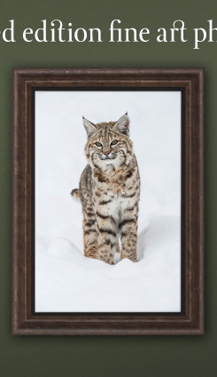 Limited Edition Print titled Winter Beauty - Bobcat