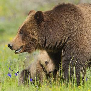 Read Grizzlies of Pilgrim Creek