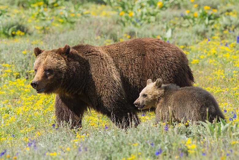 Learn more about Grizzly Bear 399