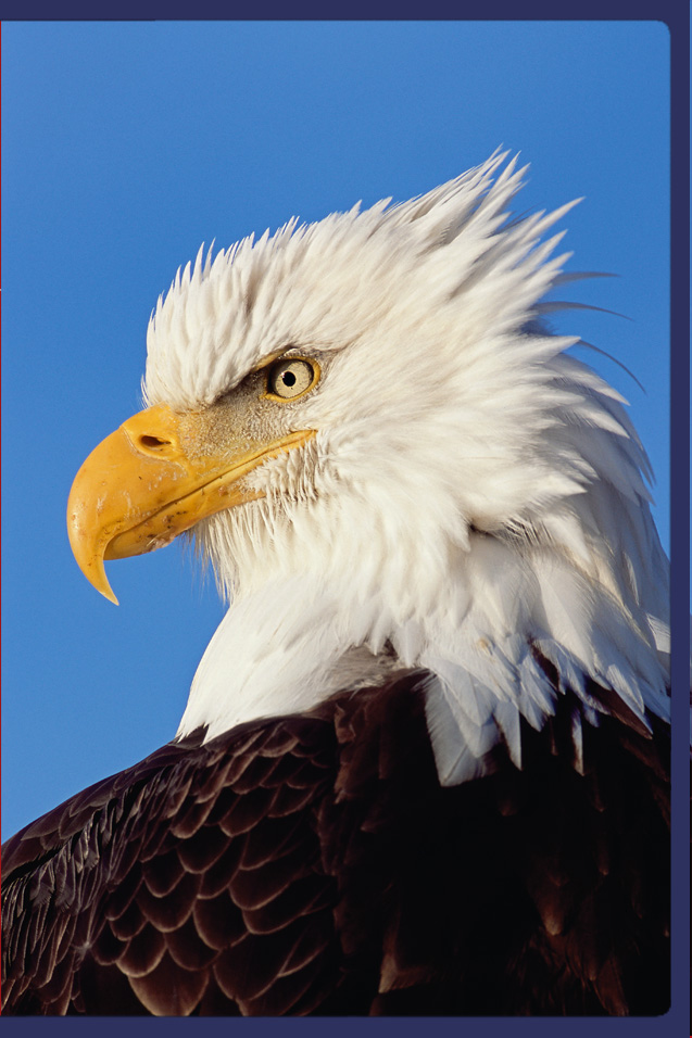 Limited Edition titled True Patriot - Bald Eagle photogrpahed in Southcentral Alaska