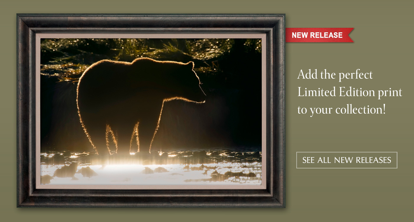 New Release of The Golden Bear, Display option shown: framed canvas