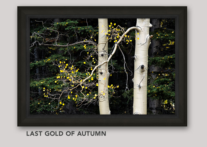 Framed, Open Edition Art titled Last Gold of Autumn