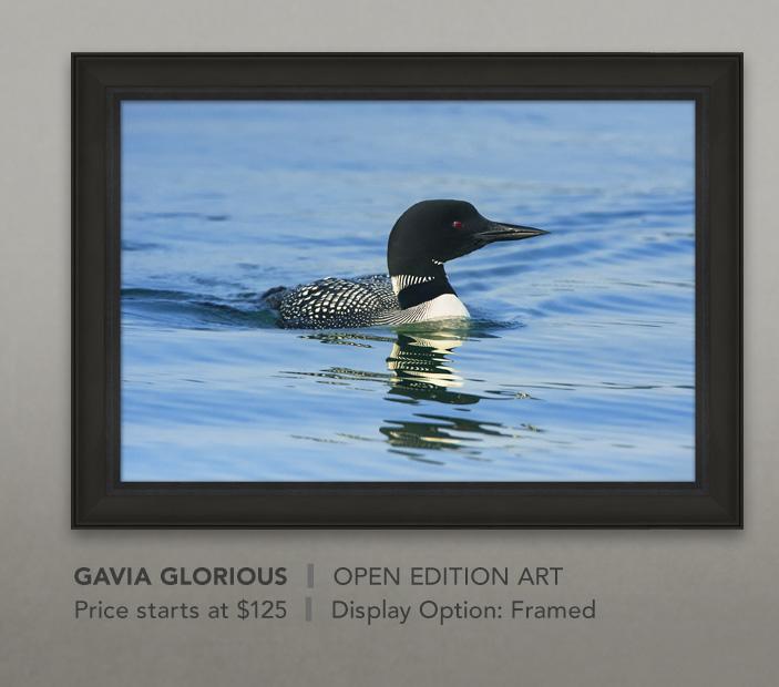 Framed Open Edition Art titled Gavia Glorious