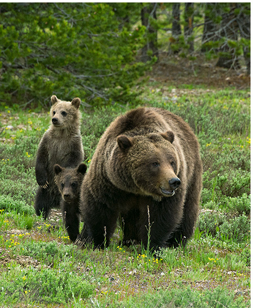 Limited Edition titled New Beginnings - Grizzly Bears