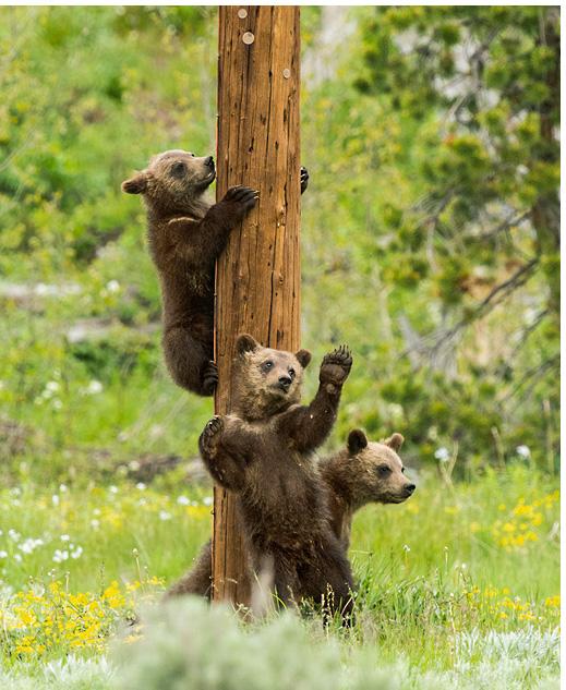 Limited Edition titled Teton Pole Dancers