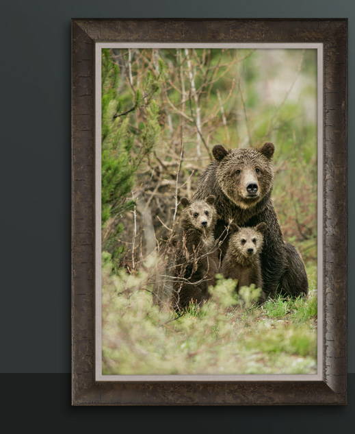 Framed Limited Edition titled Mother's Love - Grizzly 399