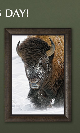 Limited Edition framed print titled Windswept - Bison