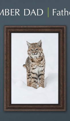 Limited Edition framed print titled Winter Beauty - Bobcat