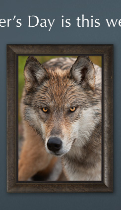 Limited Edition framed print titled Eyes of the Wolf