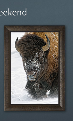 Limited Edition framed print titled Windswept - Bison