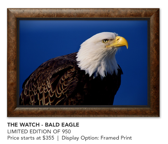 His Majesty - Bald Eagle | Framed Cancas - Limited Edition Art