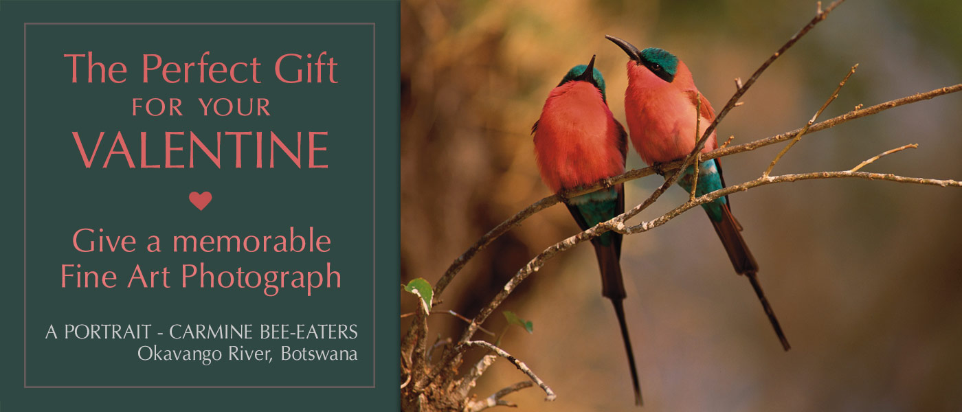 Express your love by giving a Mangelsen fine art photograph for Valentine's Day.