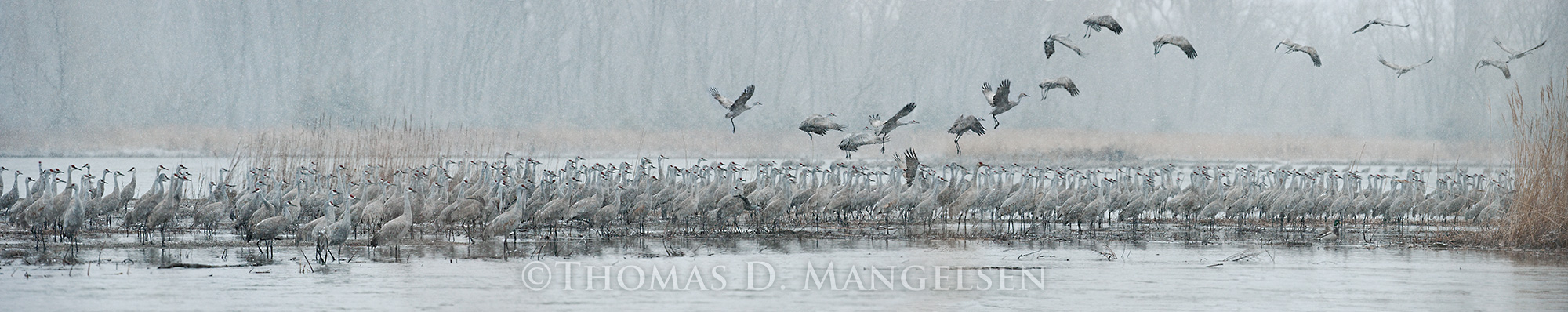Mangelsen's masterwork titled Cranes of the Grey Wind from his Legacy Reserve Collection