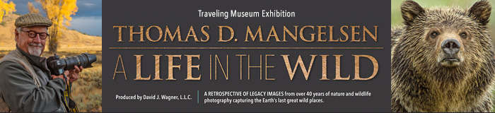 Mangelsen's A LIFE IN THE WILD traveling museum exhibition begins in September 2018