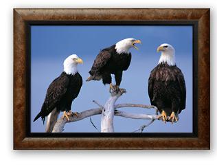 A council of Three - Bald Eagles | Limited Editon