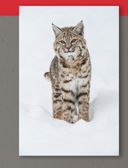 Winter Beauty - Bobcat | Limited Edition