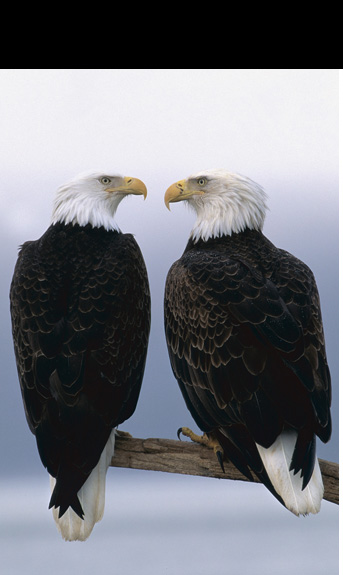Lifetime mates, bald eagles are the only eagle exclusively found in North America.