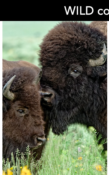 Bulls grunt and bellow, roll in dust baths and will challenge and fight any other bulls vying for their chosen one.