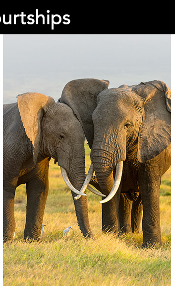 Elephants are highly intelligent, sentient beings. These two display the importance of touching—with trunks, ears, tusks, and gentle nuzzling of heads—as a daily ritual in staying intimately connected.