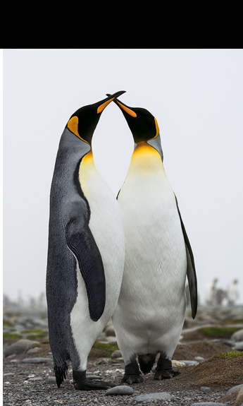Two king penguins perform a pair bonding display, strengthening their partnership as they begin the arduous search for their chick.