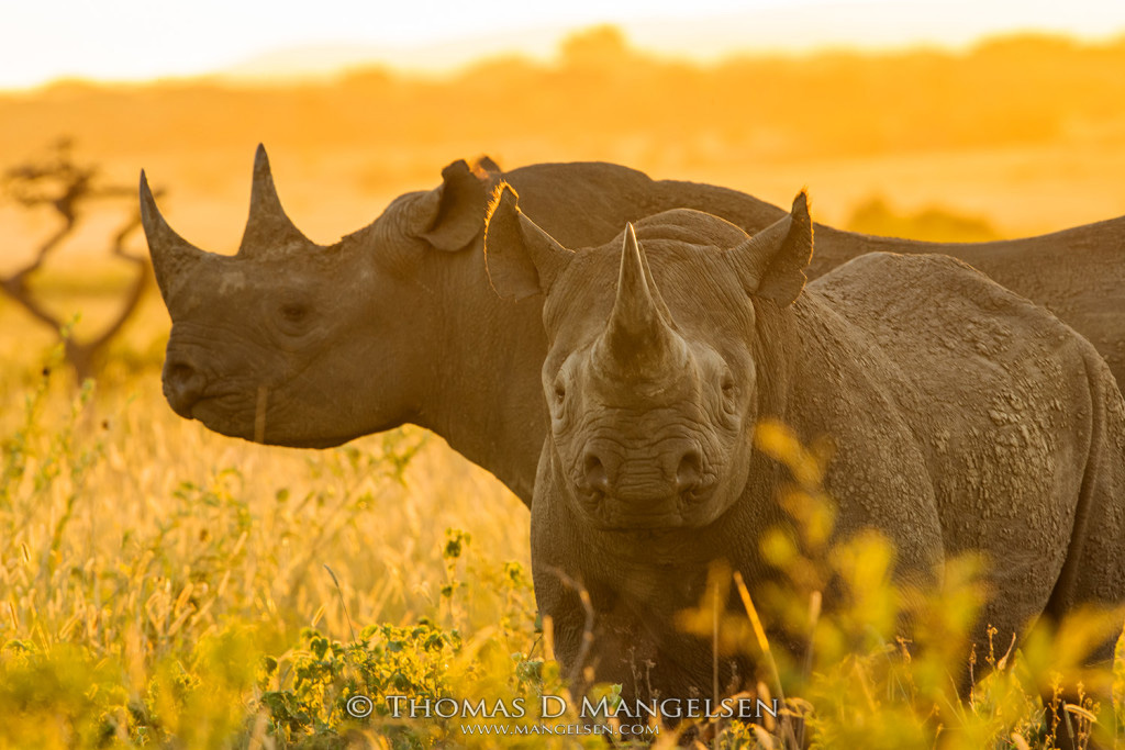 Mangelsen Black #Rhino Fund