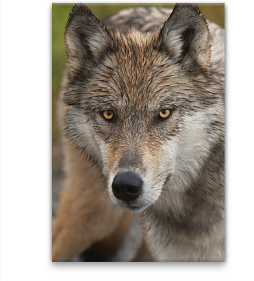 Eyes of the Wolf | Limited Edition