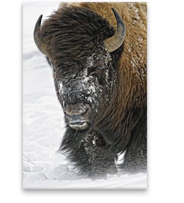 Windswept - Bison | Limited Edition