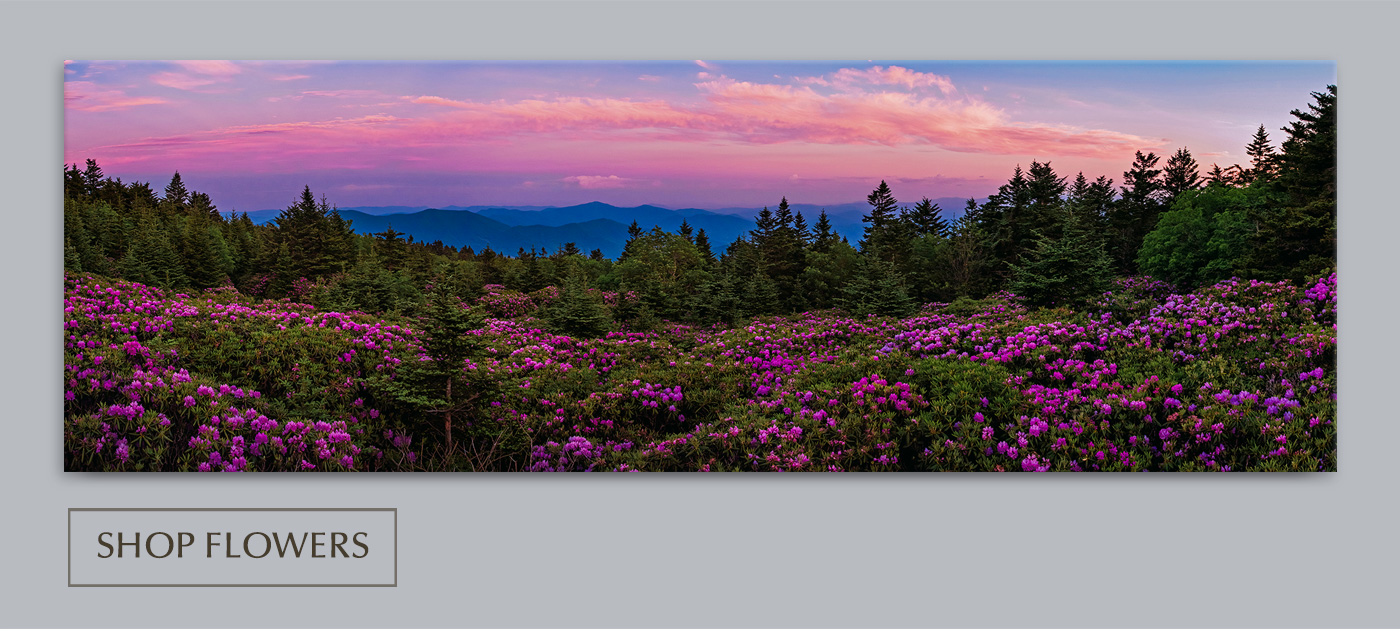 Nothing conveys the glorious arrival of American summer more than the fleeting rhododendron bloom in the Appalachian Mountains.